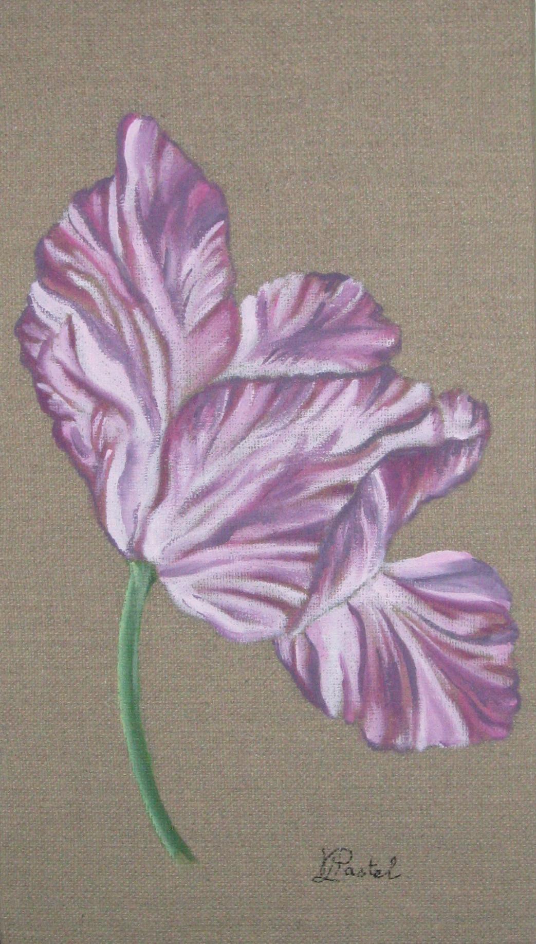 Tulipe bi-color